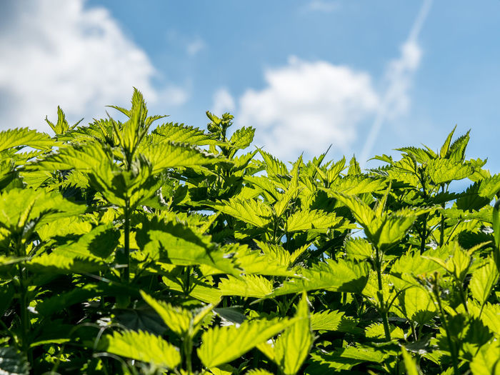 Stinging nettle Plant Green Color Leaf Plant Part Nature Growth Sky Cloud - Sky Beauty In Nature Day No People Sunlight Tree Outdoors Tranquility Leaves Close-up Sunny Field Selective Focus Stinging Nettle Healthy Medicine Plant Nature