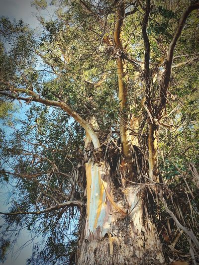 """Bark Of A Giant No. 2 (v. Eucalyptus)"" A giant of another kind in an old growth eucalyptus tree on the former historic Larkey Ranch in California. Low Angle View Branches Bark Texture Bark Eucalyptus Tree Eucalyptus Tree Eucalyptus No People Tree Nature Low Angle View Outdoors Branch"