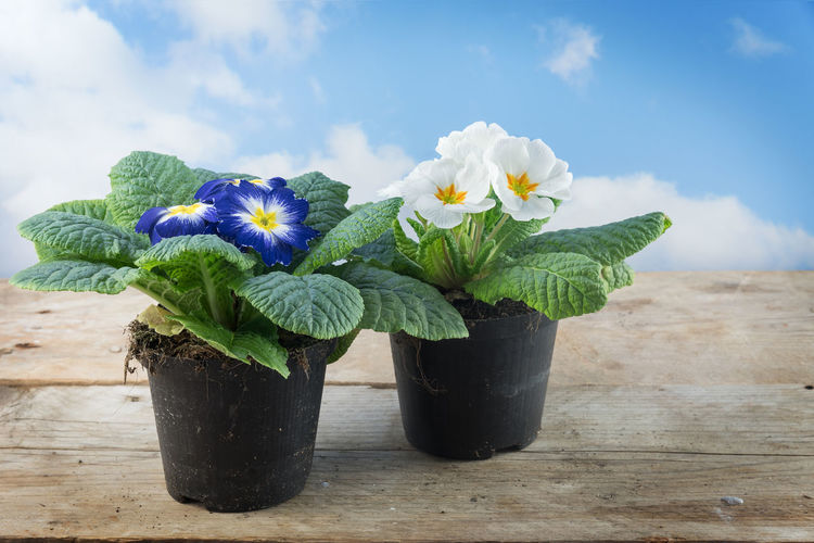 Gardening Plant Planting Primrose Rustic Wood Blooming Blossom Blue Board Day Flower Growth Leaves Nature Outdoors Plank Potted Primula Sky White Wooden