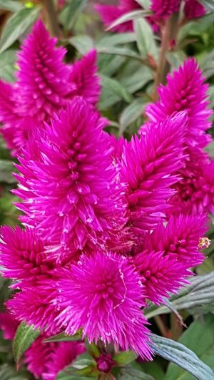 Celosía Celosia Flower Flower Beauty In Nature Fragility Plant Nature Growth Purple No People Pink Color Petal Flower Head Freshness Outdoors Day Close-up Garden Photography Garden Garden Flowers Freshness