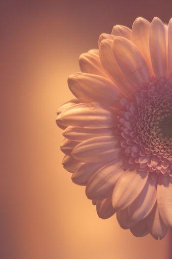 Close-up of daisy flower against orange background