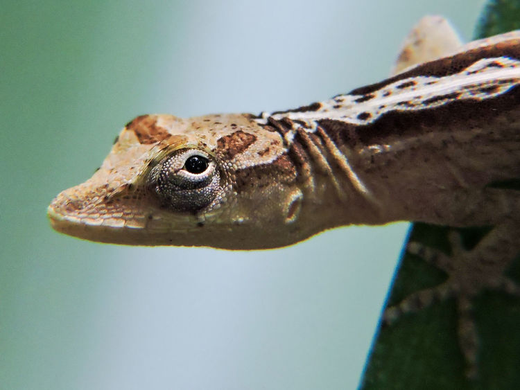 Animal Animal Eye Animal Themes Anole Beauty In Nature Close-up Eye Contact Focus On Foreground Lizard Macro Magazhu Nature No People Outdoors Reptiles Selective Focus Showcase August Yelapa