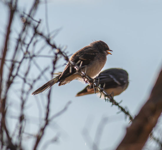 Young Grey Fantail Australian Birds In The Wild Australian Bird Grey Fantail Animal Themes Animal Wildlife Animals In The Wild Bare Tree Bird Branch Close-up Day Nature No People One Animal Outdoors Perching Sparrow Tree