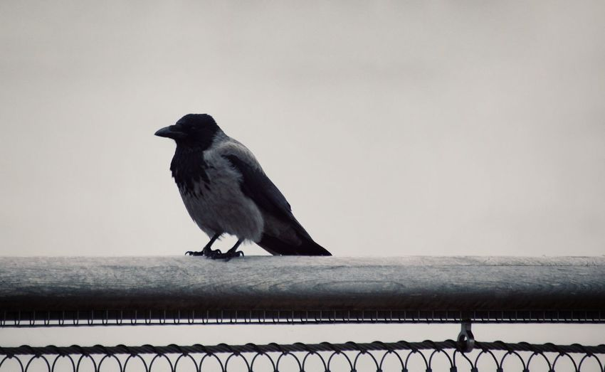 Close-Up Of Bird Perching On Fence Against Sky