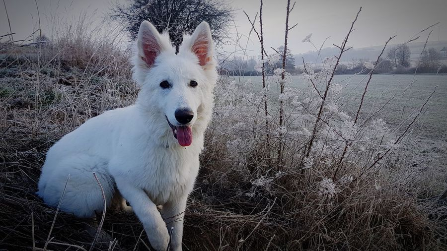 white German Schäferhund White Dog Dogs Of EyeEm Love Beautiful White Dog View Scenics Frosty Frosty Mornings EyeEm Best Shots EyeEm EyeEmNewHere Calmness Pets Cold Temperature Portrait Snow Dog Looking At Camera Winter Sky Close-up Sticking Out Tongue Animal Mouth German Shepherd Animal Teeth Animal Tongue