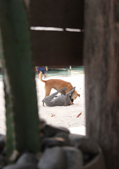 Dogfight Koh Lipe Beach Soi Dogs