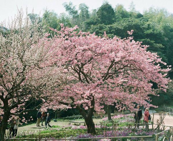 ココロオドル Sakura EyeEm Nature Lover Flowerporn EyeEm Best Shots Sakura_collection Sakura2016 Film Photography 120 Film PENTAX67 Flowers