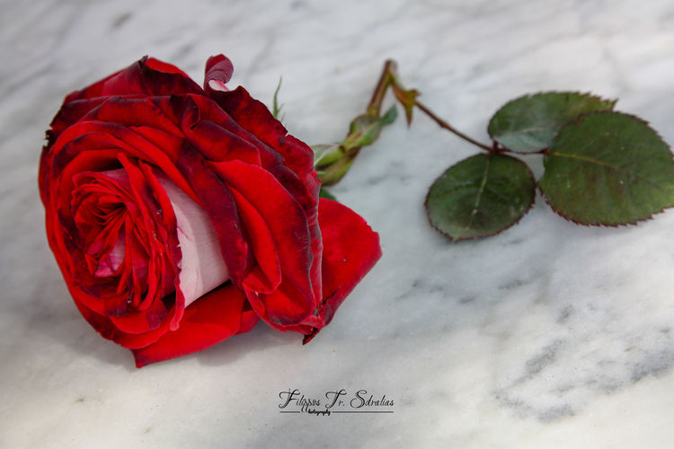 Roses are red... Violets are blue, sugar is sweet, And so are you. Roses Are Red Roses As A Gift Roses World 🌹❤️🌹 Rose♥ Still Life Photography StillLife StillLifePhotography Stillife Rose - Flower Roses Roses Flowers  Roses Photography Roses🌹 Rose🌹 Rosé Still Life