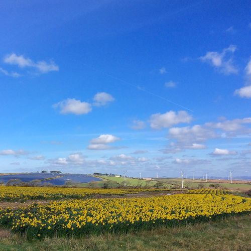 Nature Cornwall England Countryside Clouds And Sky View Enjoying The View Flowers Daffodils Field