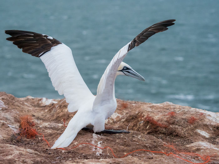 Bird Birding Animal Themes Animal Vertebrate No People Nature Animals In The Wild Flying Animal Wildlife Spread Wings Water One Animal Day Focus On Foreground Rock Rock - Object Sea Seagull Solid Flapping Gannet