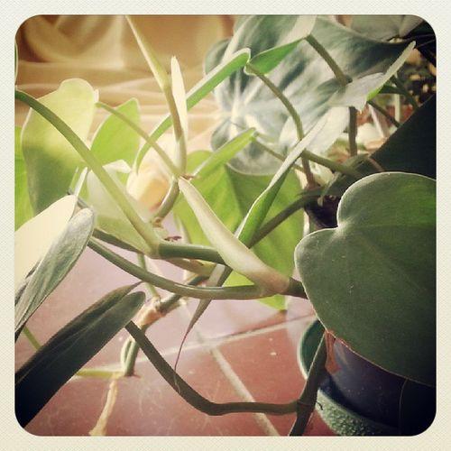 P wie Philodendron scandens - kletternder Philodendron ABCFee Malwasvonderarbeit @feemail