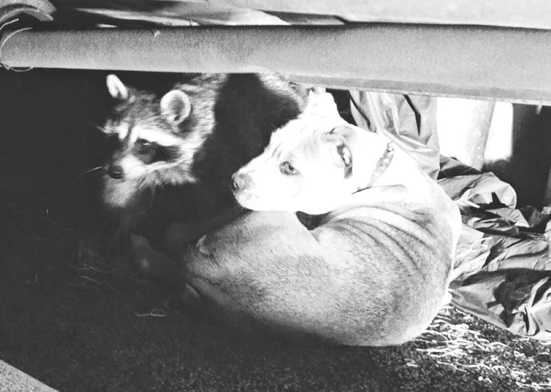 Shades Of Grey Hello World That's Me Check This Out Taking Photos Capture The Moment Maximum Closeness Togetherness Raccoon Lover Dog Life dogs mydogDogsarefamily Doglovers Wild Life