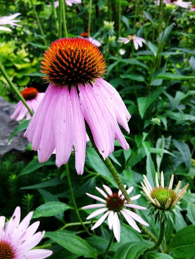 Upside Down Umbrella ~ Flower Fragility Eastern Purple Coneflower Coneflower Petal Plant Pollen Day Beauty In Nature Nature Flower Head No People Freshness Focus On Foreground One Animal Close-up Pink Color Growth Outdoors Animals In The Wild Echinacea Flower Coneflowers Cape Province South Africa Freshness