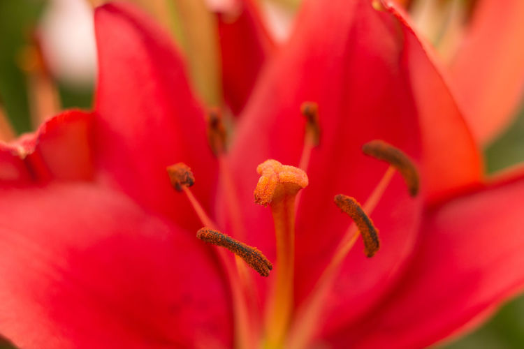 Beauty In Nature Close-up Flower Flower Head Focus On Foreground Fragility Freshness Growth In Bloom Macro Nature Petal Pollen Red Red Lily Selective Focus Stamen