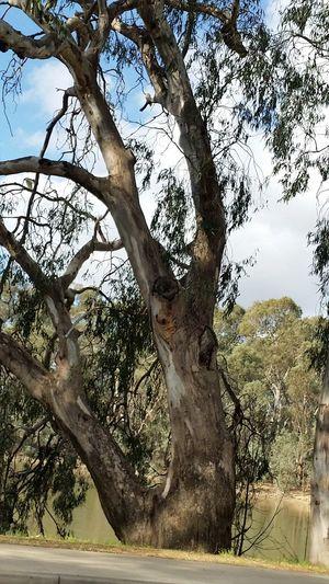 Sugar Gum Tree Murray River Tree Trunk