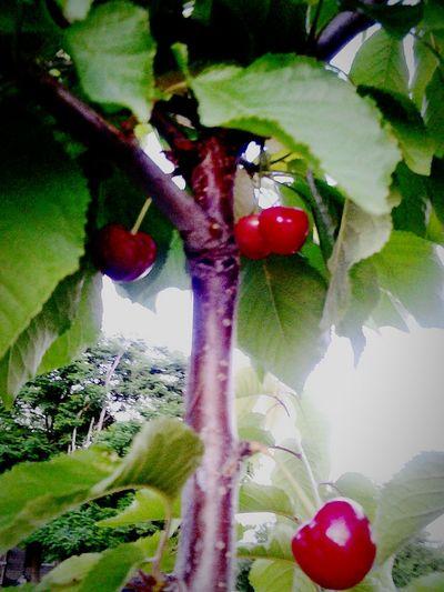 Cherry tree, nature's fruit , Harvest
