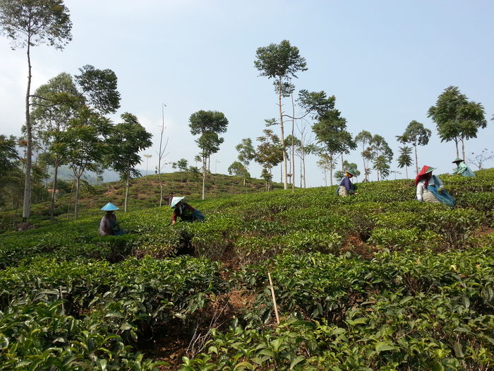 Chinese Hat Peace Tea Worker Agriculture Crop  Farm Farmer Field Gardening Harvest Land Outdoors Plant Plantation Planting Real People Rural Scene Tea Harvesters Tea Plantation  Working