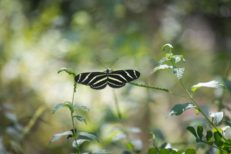 Zebra Longwing Butterfly Animal Themes Animal Wildlife Animals In The Wild Beauty In Nature Butterfly Butterfly - Insect Close-up Day Flower Focus On Foreground Fragility Freshness Growth Insect Leaf Nature No People One Animal Outdoors Plant