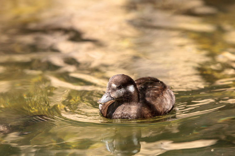 Close-up of duckling swimming on lake