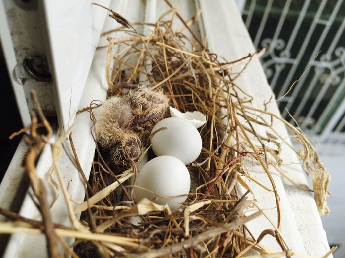 Zebra Dove Bird Eggs Bird Nest Nature New Born