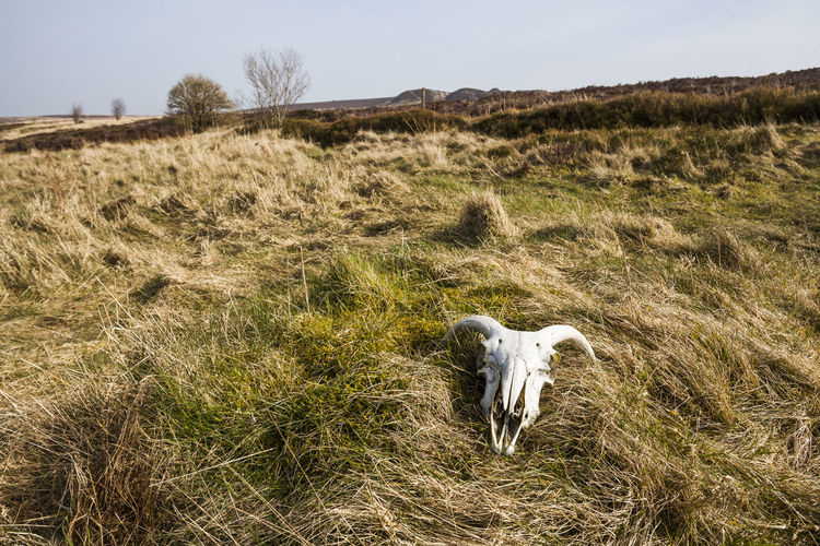 cheep skull found in the grassland of the Yorkshire moors Bones! Cheep Cheep Skull Countrylife Countryside Dead Animal Domestic Animals Field Found Object Grass Grassland Haworth Moor Landscape Mammal Nature No People Skull Sunlight ☀ Yorkshire