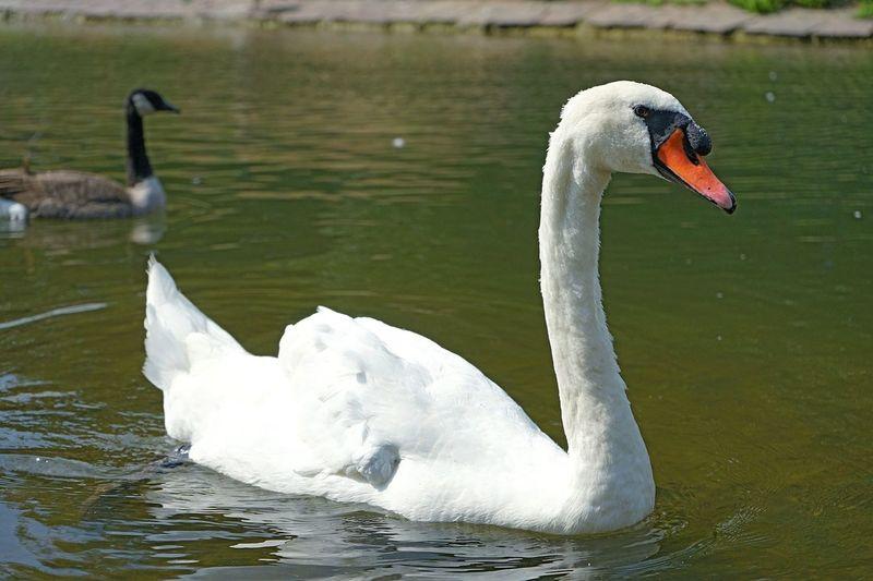 Swan Nature