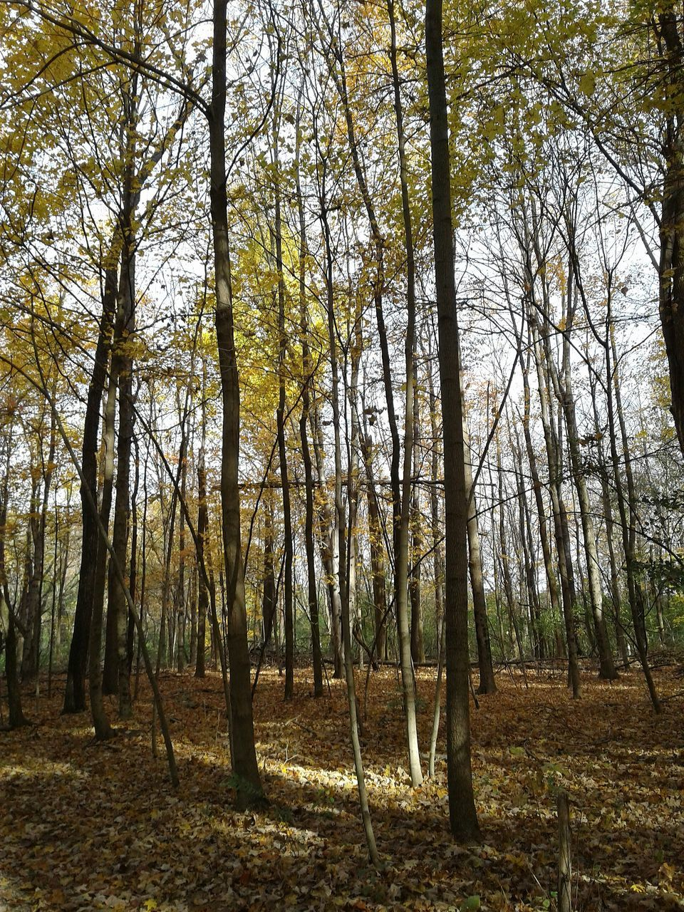tree, forest, nature, tree trunk, tranquility, tranquil scene, beauty in nature, scenics, woodland, outdoors, no people, landscape, day, branch, autumn, growth, sky