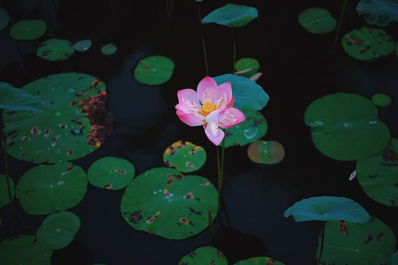 The last lotus flower in summer 🌸 Bông Hoa Hoa National Flower Vietnam Autumn Summer Leaf Growth Beauty In Nature Nature Flower Plant Water Floating On Water Water Lily Lotus Lotus Water Lily Outdoors Lake
