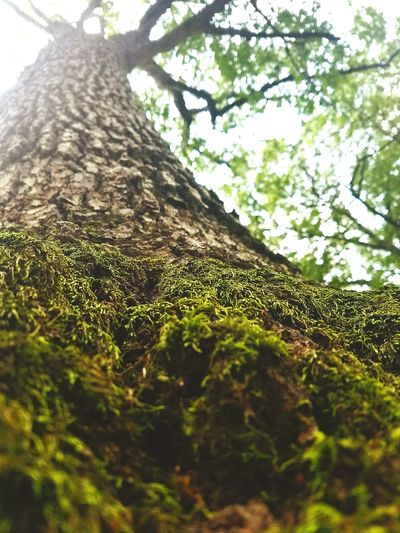 Standing Tall and Strong Tree Growth Low Angle View Nature Day Green Color No People Outdoors Beauty In Nature Sky Plant Branch Close-up Phonephotographers Phonephotooftheday Phonephotgraphy Phoneographer Talltree Lookup Mossy Tree Moss-covered Moss Close Up Moss Covered Tree Moss On Trees Mossy Wood