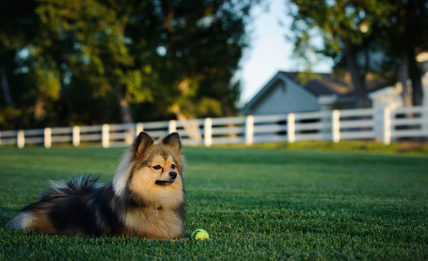 Pomeranian dog outdoor portrait Horizontal Animal Animal Themes Color Day Dog Domestic Animals Field Grass Mammal No People One Animal Outdoors Pet Pets Photography Portrait Purebred Dog