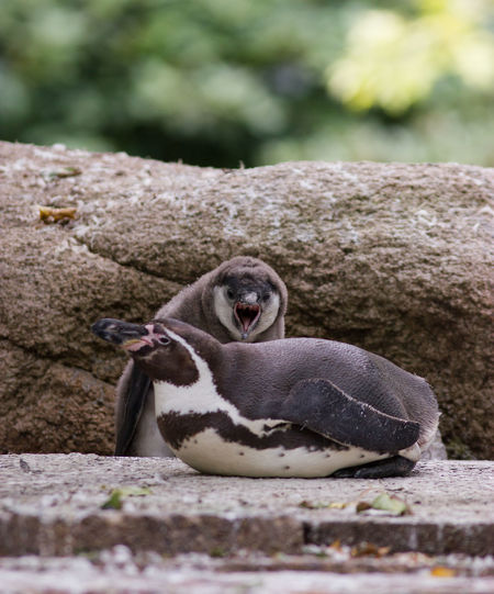 Shout out loud Animal Themes Animal Wildlife Animals In The Wild Baby Close-up Day Fight Fighting Fighting Penguin Focus Mammal Nature No People One Animal Outdoors Pair Penguin Shout ShoutOut Stone Struggle Struggling Couple Two Penguin