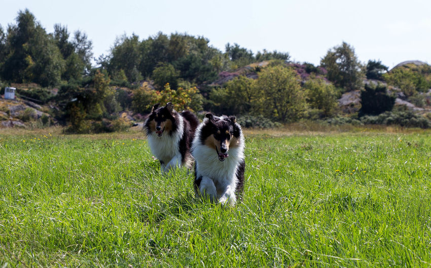 Molly and Kendza are sisters, They are so sweet to each other, and I LOVE them so much. Here we was walking by the sea, just outside Gothenburg. Collie Collies Dog Doglover Dogs Free Spirit Havingfun Lassie Love Love Is Not Just A Verb, It's You Looking In The Mirror Love Lovely Sun Sun-On-A-Stick Sisters ❤ Runrunrun Running Time Pets Happy Time Playtime Playing Collie #roughcollie #photooftheday #cute #dogsofinstagram #bordercollie #igers #poser #saturday #happiness #dogstagram #bluemerle #dog #welshcollie #lovedogs #bordercollies #ig #igdaily #potd #picoftheday Happy Love [Happiness Dogstagram Two Of A Kind