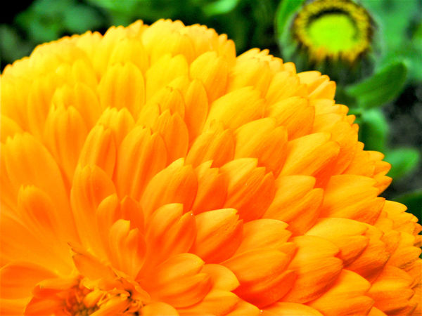 Beauty In Nature Blooming Close-up Day EyeEm Nature Lover Flower Flower Head Fragility Freshness Growth Nature No People Orange Color Orange Flower Outdoors Petal Plant