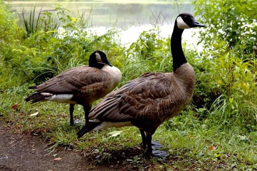 Geese Geese Family Geese Photography Walking Around Nature Photography Escaping Taking Photos Summer 2016 Summer ☀ Caryville Tennessee Lake Two Is Better Than One