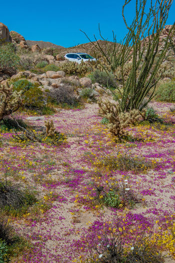 Anza Borrego Desert Flowers Plant Growth Nature Beauty In Nature Land Flower No People Field Tree Scenics - Nature Tranquility Landscape Tranquil Scene Day Flowering Plant Sky Non-urban Scene Environment Architecture Grass Outdoors Arid Climate Purple Anza Borrego