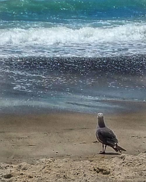 Beach Sand Water Nature One Animal Sea No People Outdoors Bird Day Beauty In Nature Animal Themes California Coast Seagull Looking At Water Little Waves Pebbles And Stones Beach Life Animals In The Wild