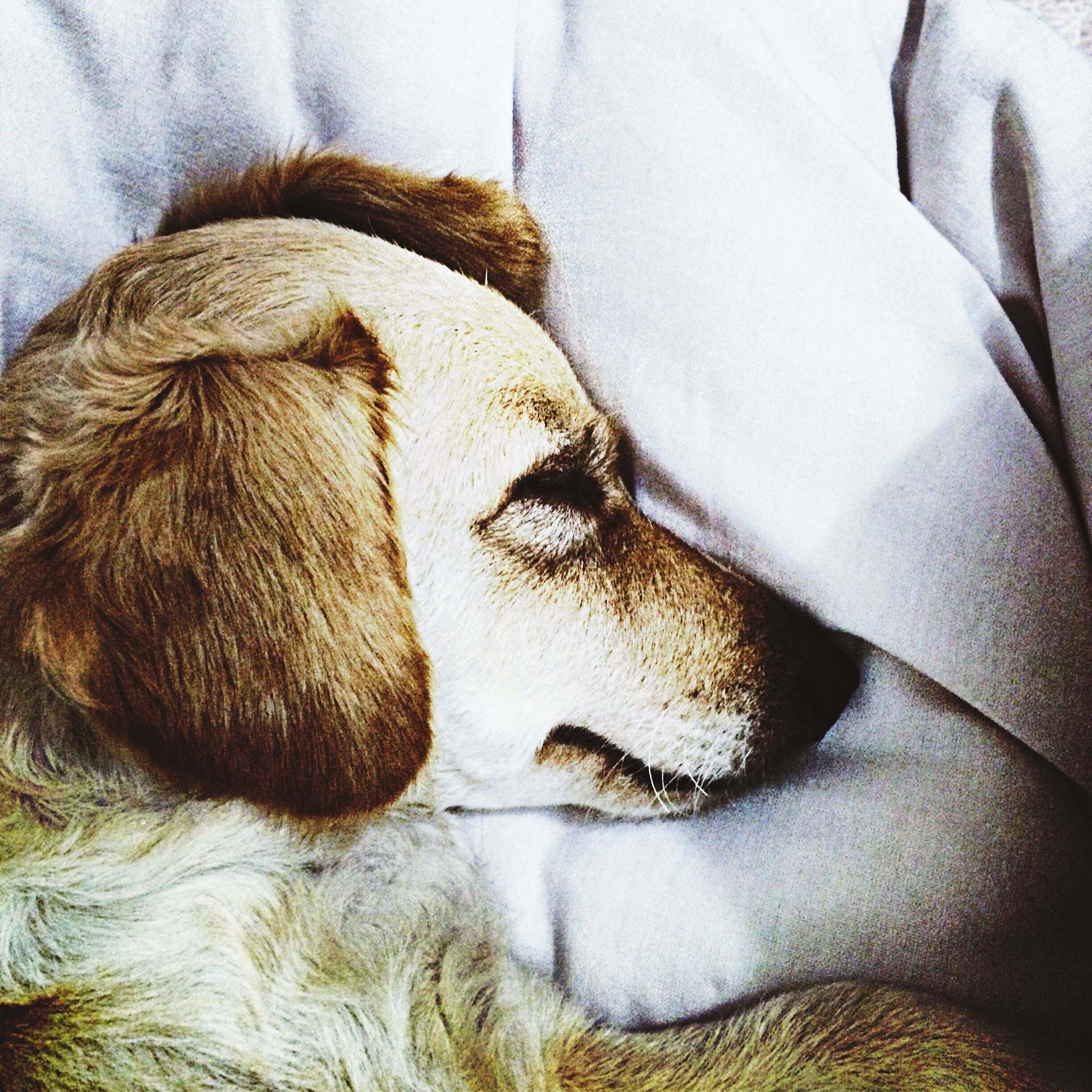 domestic animals, mammal, animal themes, one animal, pets, dog, relaxation, resting, sleeping, indoors, animal head, lying down, close-up, animal body part, eyes closed, no people, bed, animal hair, relaxing, day