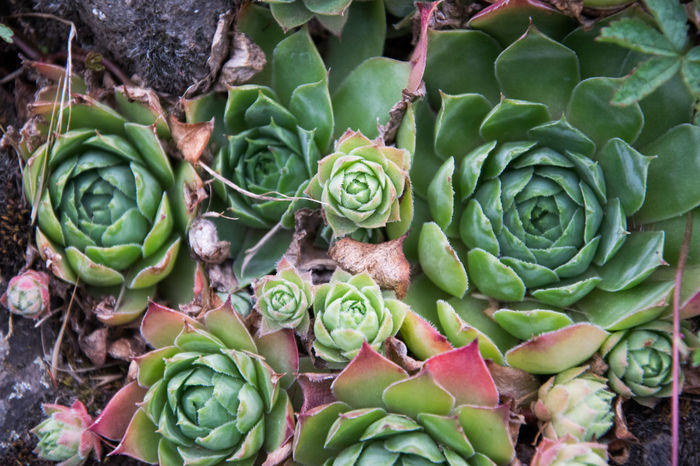 Artichoke Beauty In Nature Cactus Close-up Day Flower Flower Head Fragility Freshness Green Color Growth High Angle View Leaf Nature No People Outdoors Plant Prickly Pear Cactus