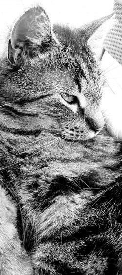 Tiger #Tiger #blackandwhite #cat #portrait #animals #animal #pets #birds #wildlife #wild #cityscape #landscape #nature #sunset #lake #vacation #trip #city #downtown #reflectio