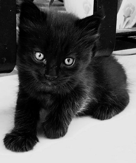 Lovely Eyes! Domestic Cat Pets Domestic Animals Feline Mammal Animal Themes One Animal Indoors  Black Color Looking At Camera Whisker Portrait Sitting No People Close-up Kitten Persian Cat  Day Live For The Story Pet Portraits Black And White Friday