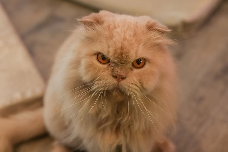 The Angry Cat, Cute Cat Mammal One Animal Domestic Pets Domestic Cat Domestic Animals Cat Feline Portrait Vertebrate Looking At Camera Close-up No People Focus On Foreground Persian Cat  Whisker High Angle View Angry Cat Lovely Cat Cute Cats