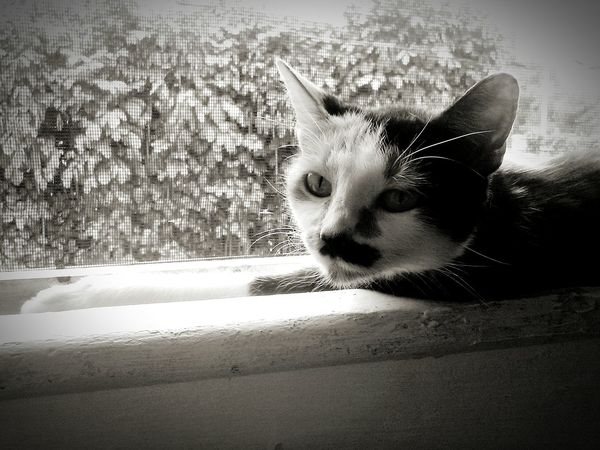 Calicocat Window Hanging Out Not Home Right Now Blackandwhite Photography Big Island Love ♥ Hawaii Jamuna, chillin on the windowsill. Rough life. KAU USA