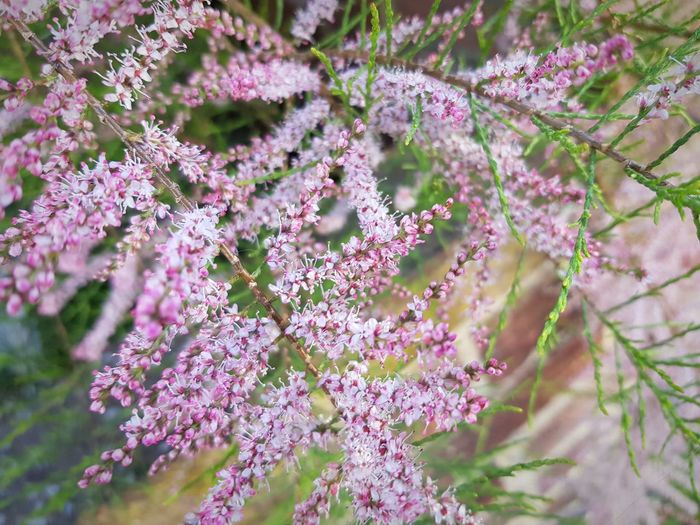garden plant in bloom Flower Flower Head Tree Branch Pink Color Purple Blossom Springtime Close-up Plant In Bloom
