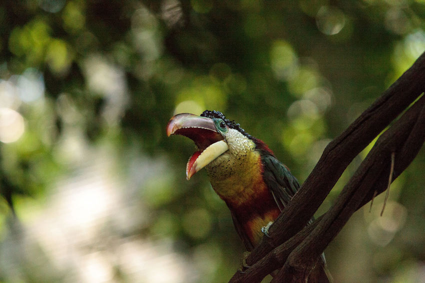 Curl-crested Aracari called Pteroglossus beauharnaesii found in the rain forest of South America Beak Curl-crested Aracari Pteroglossus Beauharnaesii Toucan Animal Themes Animal Wildlife Animals In The Wild Aracari Avian Big Beak Big Beaks Bird Close-up Day Nature No People One Animal Outdoors Perching Tropical Wild Bird Wildbird