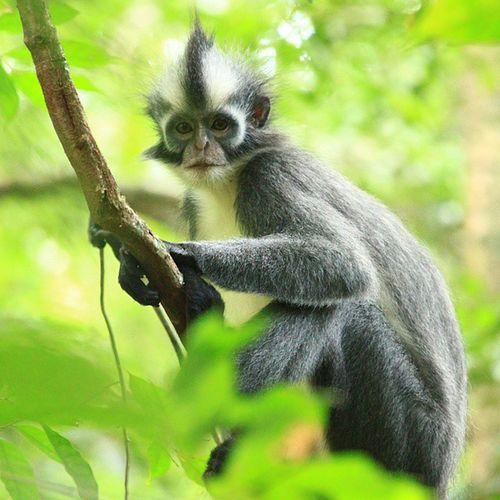 Presbytis Thomasi or Thomas 's Langur is endemic to NorthSumatra INDONESIA Animal Jungle Gunung Leuser Nationalpark . Assassed as vulnerable species by IUCN list. @klikarbain @arbainrambey