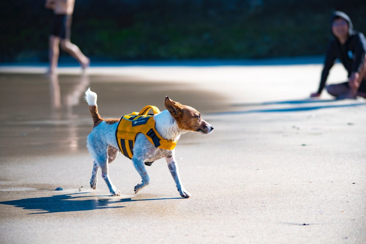 dog, pets, domestic animals, mammal, walking, outdoors, running, one animal, road, day, real people, men, nature, one person, people