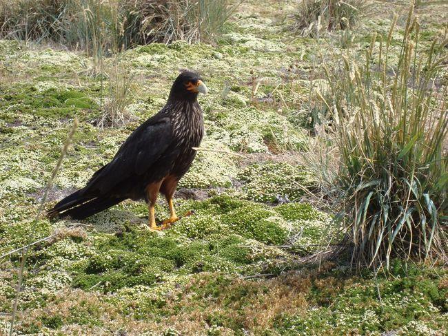 CaraCara - Falklands Falkland Islands CaraCara