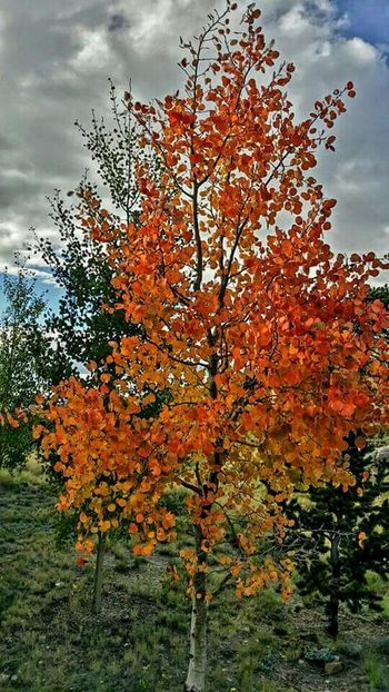 Nature Aspen Trees Colorado Wilkersonpass Fall Colors Check This Out