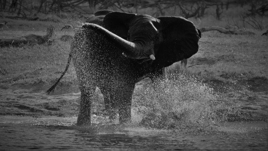 Elephant splashing water while standing in lake