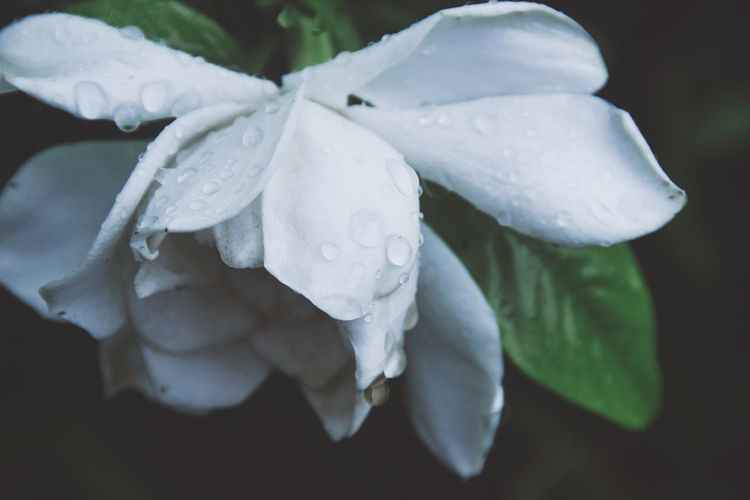 Drop Water Beauty In Nature Petal Fragility Wet Flower Nature White Color Growth Flower Head Plant RainDrop